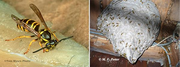 Yellowjackets are one of the most dangerous insect pests in the U.S. Although nests are often constructed belowground, this one was located in an attic.