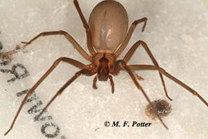 Brown recluse spiders often have a fiddle-shaped marking