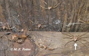 Shed skins of a brown recluse spider