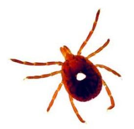 Lone Star Tick Female