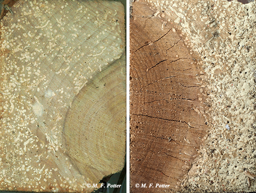 Larvae prefer to tunnel in sapwood more than heartwood.