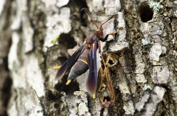 Banded Ash Clearwing Borer