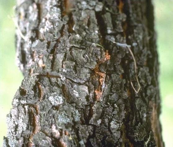 identify ash trees