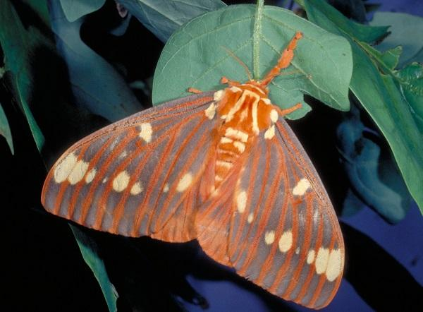 royal walnut moth