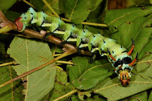 royal walnut caterpillar