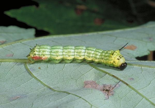 greenstriped mapleworm caterpillar
