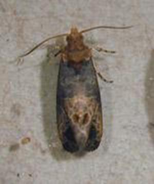 Figure 1. Adult GBM. Photo R. Isaacs, Michigan State University