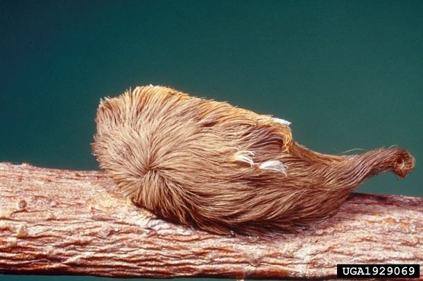 pus moth caterpillar
