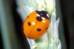 Coccinella septempunctata, sevenspotted lady beetle