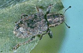 Clover Root Curculio Adult