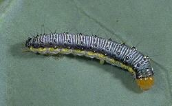 Cross-Striped Cabbageworm