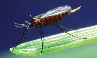 Hessian Fly Adult