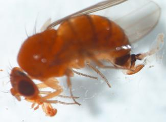 Spotted wing drosophila female displaying enlarged ovipositor, characteristic body color and abdominal banding.
