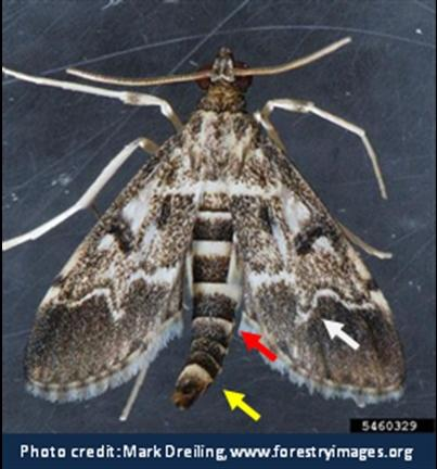 European Pepper Moth