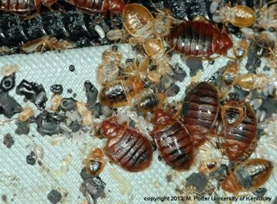 Bed bug adults, nymphs, eggs, shed skins, and fecal spots
