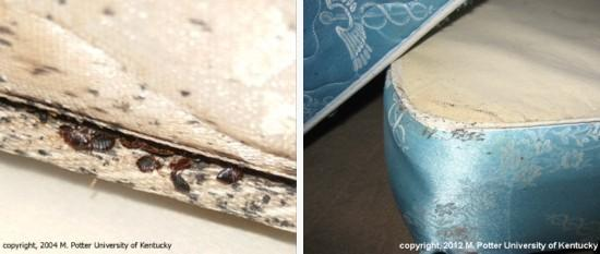 Bed bugs in mattresses
