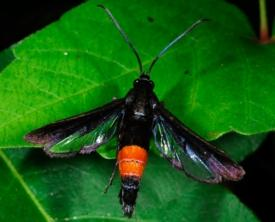 Female Peachtree Borer