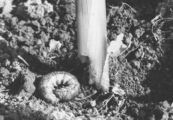 "cutworm coiled into a ""c"" shape"