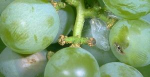 Grape Berry Moth Damage