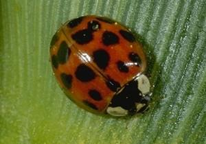 Asian Multicolored Ladybug