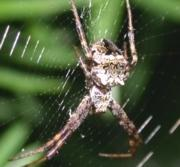 Star-Bellied Spider