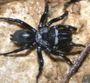 Purseweb Spider