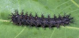 Spiny oakworm caterpillar