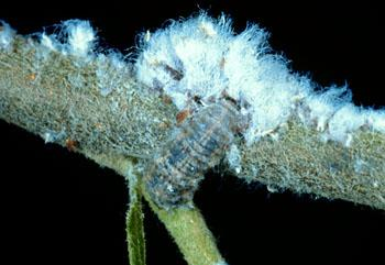 Woolly aphid colony showing live purple aphids