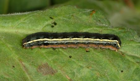 Yellowstriped Armyworm