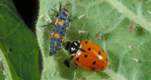 convergent lady beetle adult and larva