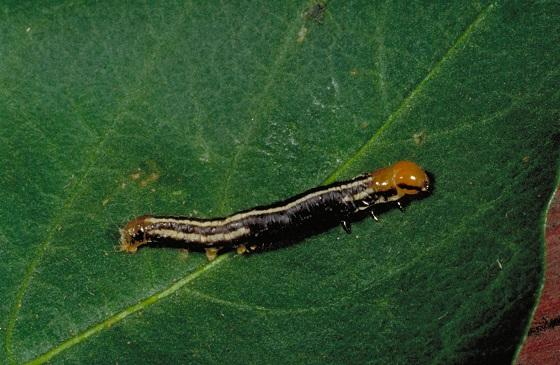 common stalk borer