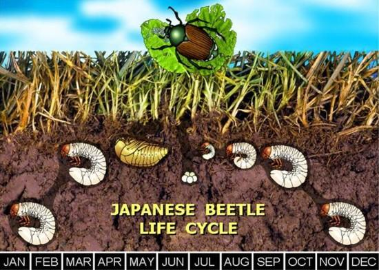 Japanese Beetle Life Cycle