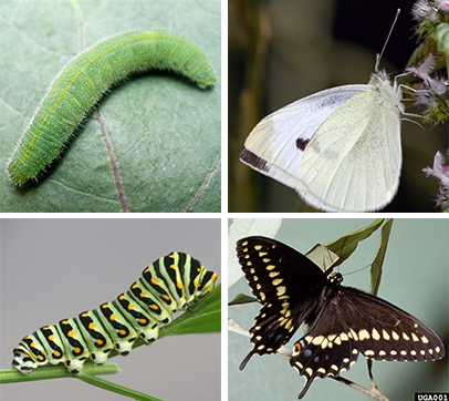 butterfly pests