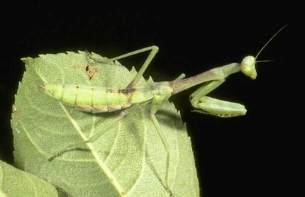 Mantid Nymph (R. Bessin, University of Kentucky)