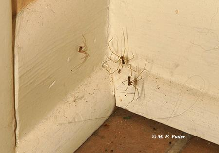 The cellar spider  and wolf spider  are common in buildings. Both are harmless.