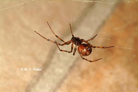 The common house spider is related to the black widow but is harmless.