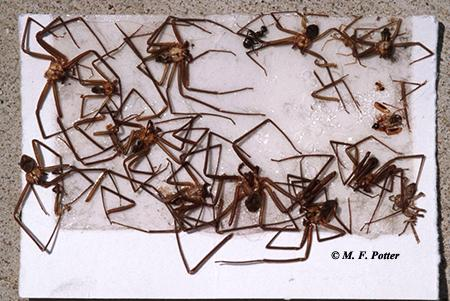 Brown recluse spiders caught on a glue trap. Several traps should be placed into corners and flush along walls.