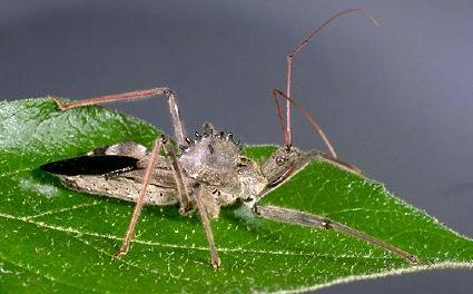 Wheel Bug Adult