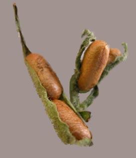 Sawfly Pupae