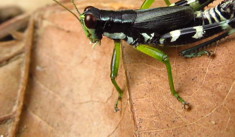 Melanoplus eurycercus