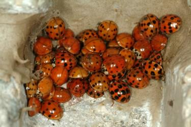 Asian Ladybugs