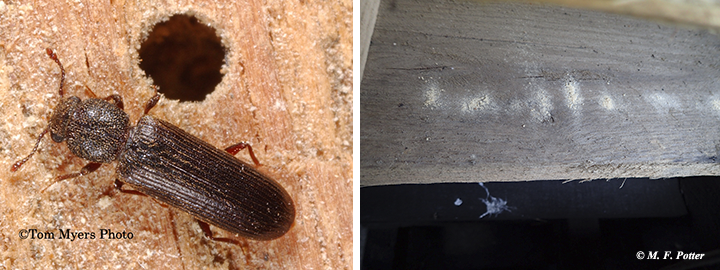 Lyctid powderpost beetle near an exit hole (photo on right shows powder on a pallet)