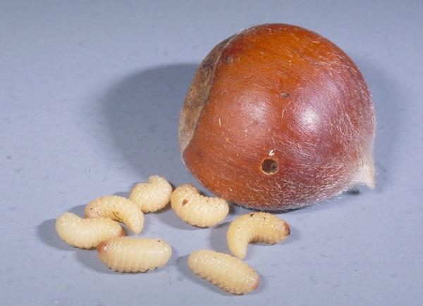 Chestnut weevil grubs