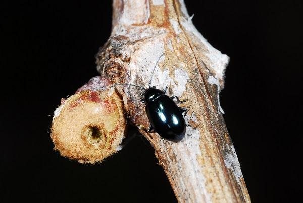 Grape flea beetle and damage to grape bud.