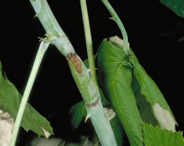 Figure 2. Raspberry cane borer damage.