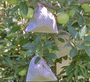 Figure 1. Bagging helps with pest management and improves fruit finish.