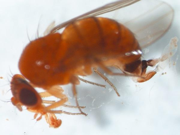 Figure 4. Spotted wing drosophila female displaying enlarged ovipositor, characteristic body color and abdominal banding.