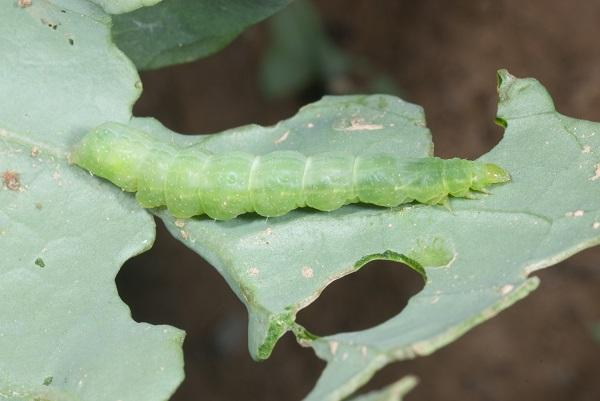 Figure 2. A cabbage looper's body  is narrow  near its head.