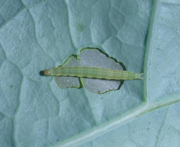 Figure 3.  Diamond back larvae feed partway through the leaf and have a forked tail.