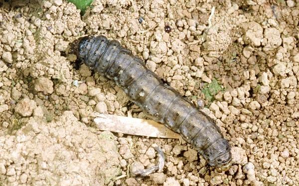Figure 8. Black cutworm is  a common pest.